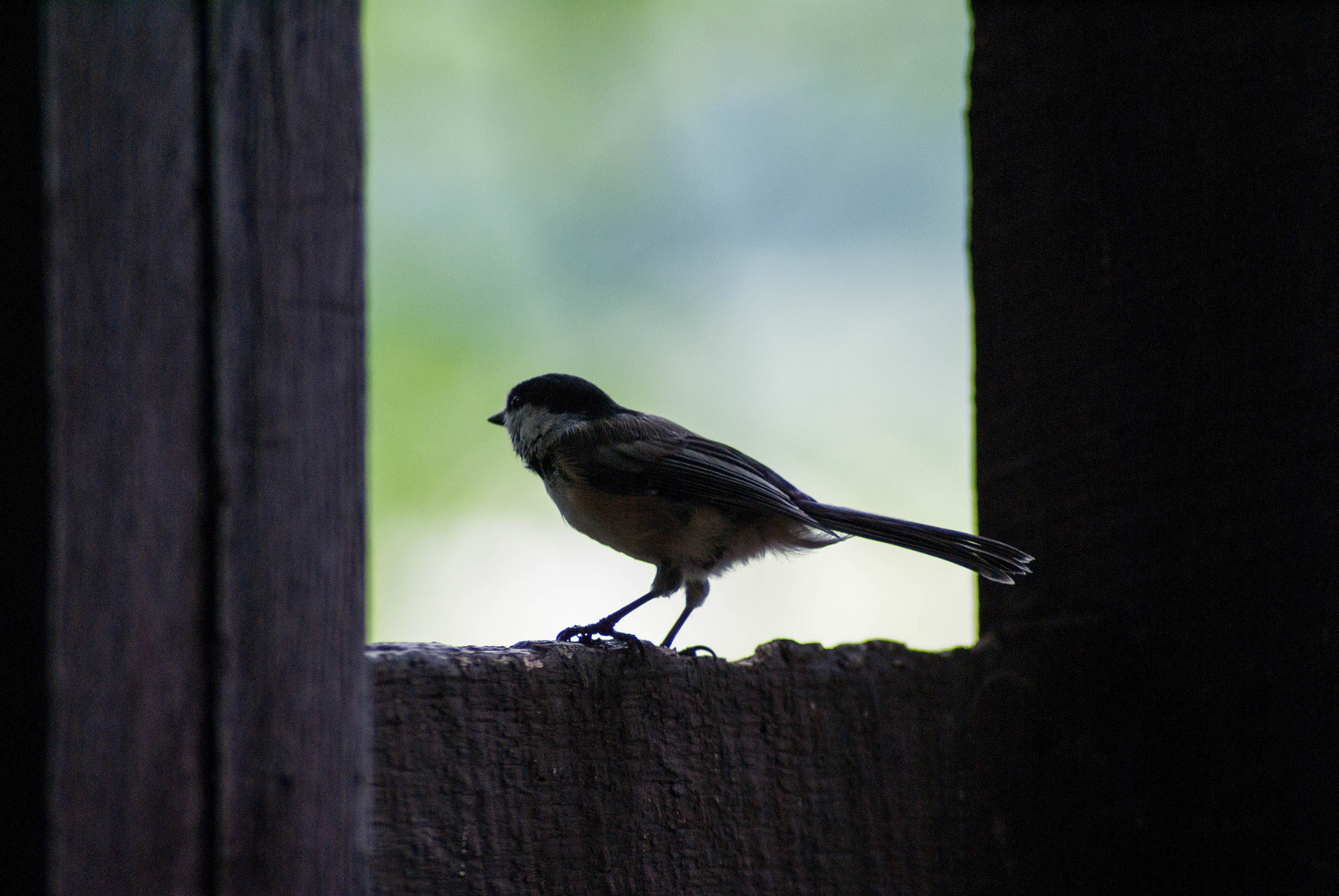 Small bird sits on wooden ledge peeking outdoors